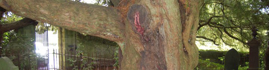 Bleeding Yew at Nevern Church
