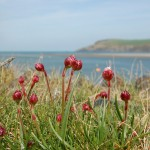 Sea Pinks at Newport, Pembrokeshire